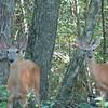 06/06/15 - Deer