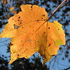 """11/22/09 - Still Hanging On<br /> I really like the color contrast of the gold and blue, so I thought I'd share this picture I took Friday.  <br /> <br /> But, yesterday, I was really doing this:<br />  <a href=""""http://fotomom.smugmug.com/Nature/November-2009/10198920_oRbHf#720299599_dngp6"""">http://fotomom.smugmug.com/Nature/November-2009/10198920_oRbHf#720299599_dngp6</a><br /> <br /> I leave the boys at home and get out to a movie about 4 times a year.  Last night was New Moon.  If you're into that kindof thing, it was great.  Interesting how the young set was taking pictures of the hunks on the screen with their cell phones through the show.  <br /> <br /> Have a great Sunday!<br /> Maryann"""
