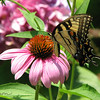 "06/26/10 - Female Eastern Tiger Swallowtail on Coneflower (I just don't have a creative title today)<br /> I stepped outside for a short break from work yesterday afternoon and headed to the Kidd Family garden to see if there was anything interesting to take a picture of.  I found this swallowtail fluttering about going from flower to flower and started taking pictures of her.  Most didn't turn out in the harsh light, but this one, and this one:<br /> <br /> <a href=""http://fotomom.smugmug.com/Nature/June-2010/12400102_x8pU2#913530214_rhnP8"">http://fotomom.smugmug.com/Nature/June-2010/12400102_x8pU2#913530214_rhnP8</a><br /> were kindof cool.<br /> <br /> I fixed a little wisp of a stray grass line in this shot, but otherwise did not modify it.<br /> <br /> It's a purplish pink hydrangea behind the coneflower in the background.<br /> <br /> In other news yesterday, Madi got 3 awards at the end of year (year round)  awards ceremony at school.  We are all so proud of her.  Topping the awards was an actual trophy for AR reading.  Essentially the kids read extra difficult books for their grade level and then take reading comprehension tests on them.  Points are tallied and added up, and Madi had the most points of all the kids in kindergarten this year, so it really is an award that she worked hard to win.  Picture of the proud girl and her trophy:<br /> <br /> <a href=""http://fotomom.smugmug.com/Children/Vance-End-of-Year-Awards/12690330_B9DsP#913089861_4F5W7"">http://fotomom.smugmug.com/Children/Vance-End-of-Year-Awards/12690330_B9DsP#913089861_4F5W7</a><br /> <br /> I made sure to let Joey know that I am very proud of his accomplishments this year too.  I told him I don't need a piece of paper to be proud of him...  He says he'd like to read more AR books next year:-)<br /> <br /> I think the kids and I are headed to Marbles Kids Museum today.<br /> <br /> HAGD,<br /> Maryann"
