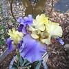 05/14/15 - Iris