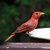 "07/28/11- Not a Cardinal<br /> <br /> Imagine my surprise while during supper prep tonight this male summer tanager showed up at my bird feeder and bath.  I've seen these birds around sometimes but never up close near the house like this.  I think he was determined to chase off the cardinal fledgling:<br /> <br /> <a href=""http://fotomom.smugmug.com/Nature/July-2011/17840800_GC3pFH#1405769829_DnDFssz"">http://fotomom.smugmug.com/Nature/July-2011/17840800_GC3pFH#1405769829_DnDFssz</a><br /> no matter what but the cardinal really held it's ground for a while.  Notice the feathers on the cardinal fledgling really starting to take on more of a red tint now.  Quite a change over the last 6 weeks.<br /> <br /> Posting late because I didn't take any pics yesterday and was so busy with work and the boys being tracked that I had trouble taking pics and doing anything with them today too.  Thank goodness I finally got a few minutes with the camera around dinnertime.<br /> <br /> The memorial service went as good as those things can go.  I saw some of dad's friends that I hadn't seen for 20+ years.  It was very good to see them.  <br /> <br /> Maybe tomorrow will be a 'normal' day for me.  I don't count on it these days, though.<br /> <br /> Thanks for your comments on the pancake:-)<br /> <br /> HAGD,<br /> Maryann"