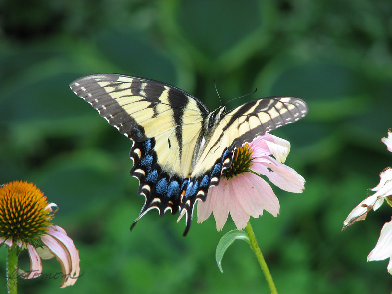 06/30/10 - Another Swallowtail<br /> I shot this Monday too.  Although I took a few shots yesterday, I didn't have a shot I felt good enough to share.  This one really isn't as good as I'd like either, but it's what I have.  I'm kindof hooked on butterflies and coneflower right now.<br /> <br /> Thanks for your comments on the Maryland Meadow Beauty from yesterday...<br /> <br /> We had rain overnight but not enough to keep me from having to add water into my ornamental pond this morning.  It's cooler, but the humidity is through the roof.  Sigh...<br /> <br /> HAGD,<br /> Maryann