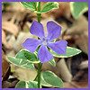 03/27/10 - Variegated Periwinkle<br /> This splash of color is growing beneath the Redbud that I posted yesterday and in many other places in my yard.  I adjusted the contrast, cropped square, and added the border.  When the flowers are done, the beautiful leaves remain and are a joy to look at all summer long.  <br /> <br /> I still am not feeling well at all.  Thank you for the well wishes.  Mostly I am short on energy and just can't breath despite various meds.  Hopefully the worst is over and I'm on the up swing now.  <br /> <br /> The Spring Festival at the school last night was a lot of fun.  I took a bunch of those poor light, poor flash, great smile pics that mostly only a mom could love:-)<br /> <br /> On to the egg hunt this morning.  Brrrrr....  It's in the 30s out there, but I believe we were spared damaging cold.  The trend in the 7-day is warmer:-)<br /> <br /> HAGD,<br /> Maryann