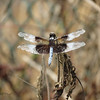 08/29/13 - Widow Skimmer Dragonfly