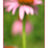 "06/07/11 - Dreamy Pink<br /> <br /> I guess I'll let you guys tell me if this works or not.  For some reason yesterday, the out of focus parts of my pictures were appealing to me:-)<br /> <br /> The original shot:<br /> <br /> <a href=""http://fotomom.smugmug.com/Nature/June-2011/17389966_Qt2vxj#1325073247_kcwB9zW"">http://fotomom.smugmug.com/Nature/June-2011/17389966_Qt2vxj#1325073247_kcwB9zW</a><br /> <br /> Here is a similar horizontal view:<br /> <br /> <a href=""http://fotomom.smugmug.com/Inspirations/Inspirations/10386893_s5msk#1326001045_kQ3jV8H"">http://fotomom.smugmug.com/Inspirations/Inspirations/10386893_s5msk#1326001045_kQ3jV8H</a><br /> <br /> Now, there's a bit more here than meets the eye.  Of course when I did the 16X10 crop from the original full shot, I got a very small 912X1461 pixels image.  I ran it through OnOne's  Genuine Fractals software and asked it to make it double the size with 300dpi (so 20X32).  That took a minute or two but I ended up with a finished product (white frame)  that's 3000X4800 pixels. The intermediate sole flower shot that I made 'bigger' is 6000X9612 pixels.  At any point, Genuine Fractals is a pretty cool piece of software that can increase, for example, the size of old scanned in 3X5 prints that you want to print at a larger size but don't have the negative for.  You'll have to see for yourself how well the 'expansion' holds up for things you care about being particularly sharp.  Obviously in this case I wasn't after sharpness.<br /> <br /> BTW, I use Picasa to tell me at a glance what the pixels are.<br /> <br /> Thanks again, and I know it might sound old, but I really mean it, for all your comments and support.<br /> <br /> HAGD,<br /> Maryann"