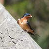 04/26/14 - Barn Swallow