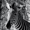 01/17/15 - B&W Zebra