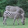 01/05/14 - Z is for Zebra