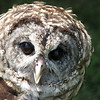 09/09/09 - Ophelia the Barred Owl<br /> I just felt like Ophelia would be left out if I didn't post her picture today:-)  I did shoot 200 cardinal pictures yesterday...a female and a male juvenille, but it was low light and through a window and just not the quality I want to share.  I also took a few abstract glass shots last night.  But, in the end, Ophelia won the POTD slot.  I believe the rescue folks said she had both wing and vision issues.<br /> <br /> Yes, I shoot all my pics with a Canon Powershot S3...a point and shoot.  I have a Canon SX10 IS which I pull out on occassion, but I much prefer the S3 for sharpness of detail.  There are a number of reasons I use the S3:  1. Weight of the camera on my neck/back and arms is less.  2. Fear of messing up the threads on real lenses.  3. Cost.  4. I do some crazy things with my camera like take canoe rides with a 4 and 6 year old.  5. The flip LCD which I use OFTEN is a must have for me.  You know, the S3 just works for me:-)  Hopefully you won't think less of my pictures now that you know...  I wasn't hiding it per say, but I wasn't bragging about it either;-)<br /> <br /> Thanks for all your wonderful comments on the last two bird pictures.  As always, I thank you for checking out my POTD.  There are a lot of great pics on SmugMug, and I enjoy looking at everyone else's pics too!<br /> <br /> HAGD,<br /> Maryann