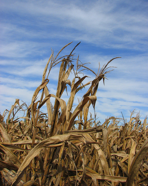 10/06/09 - Swaying in the breeze...<br /> I took this picture Sunday while the boys and I were inside the corn maze at The Vollmer Farm.  I thought it was neat how several of the corn stalks appeared to be higher than the rest, and of course I was enjoying the blue sky.  I have cropped slightly and sharpened a bit, but I decided against saturating the colors any.<br /> <br /> This corn maze is pretty neat.  There are 5 stations that you have to find inside of it.  At each station, you color a finger on your right hand with a piece of chalk.  Then, when you leave the maze, you line up the finger colors with a chart (e.g., Joey's thumb was red but my ring finger was red).  Joey got number 112 which said to go stand on all fours.  I got 68 which said to caw like a crow.  This game certainly helps to keep the kids interested.<br /> <br /> It was cold and rainy here yesterday.  The boys wore jeans and long sleeve shirts for the first time this fall.  Today is going to be a repeat of clouds and drizzle.  <br /> <br /> Thanks to those that looked at and/or commented on Jump! from yesterday.  The boys are still talking about how much fun they had over the weekend.<br /> <br /> HAGD,<br /> Maryann