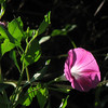 "09/12/09 - I really struggled to pick which pink morning glory flower picture to post today.  I guess that's a good problem, though.  I went with this one because I thought you guys might like how the early morning light is shining in from the left side of the frame.  Plus, I do think that's a new blossom getting ready to open in the upper left, and I thought that was kindof neat.  Anyway, see what you think.  It was a tough choice for me not to go with a full frame flower shot and to do something off center:-)<br /> <br /> The boys and I are headed to the Museum of Life and Science in Durham  <br />  <a href=""http://www.ncmls.org"">http://www.ncmls.org</a><br />  today for their Heroes and Villians event.  I more affectionately refer to today as Star Wars day since R2D2 and Darth Vader will be there.  Our little girlfriend Madi is going with us, the weather should be perfect, and I am so excited to be with the kids and not working today.  <br /> <br /> Thank you looking at and commenting on my glass shot from yesterday.  Your encouragement and support is a great motivator to continue to try new things and to always do my best work.<br /> <br /> HAGD,<br /> Maryann"