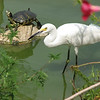 "07/08/11 - Friends at Navarre Park<br />  <br /> I took this shot at Navarre Park yesterday.  There was a great blue heron hiding in the vegetation and lots of other turtles and ducks too in their medium-sized pond..  I guess this is an Egret although he was smaller than I'm used to seeing.  You'll appreciate that I circled the boardwalk around the pond several times trying to get the best picture of him and hoping the heron would come out in the open more.<br /> <br /> The kids had a great time at the splash park there:<br /> <br /> <a href=""http://fotomom.smugmug.com/Inspirations/Inspirations/10386893_s5msk/1330566540_W3nMWwF/1330566540_W3nMWwF#1373815046_TZqgnzH"">http://fotomom.smugmug.com/Inspirations/Inspirations/10386893_s5msk/1330566540_W3nMWwF/1330566540_W3nMWwF#1373815046_TZqgnzH</a><br /> <br /> And, I got a nice pano shot across the sound to the Navarre Beach area:<br /> <br /> <a href=""http://fotomom.smugmug.com/Nature/July-2011/17840800_GC3pFH#1373716516_TbLmhTW"">http://fotomom.smugmug.com/Nature/July-2011/17840800_GC3pFH#1373716516_TbLmhTW</a><br /> <br /> There was also a small butterfly house there:<br /> <br /> <a href=""http://fotomom.smugmug.com/Nature/July-2011/17840800_GC3pFH#1373714827_jVfqqJb"">http://fotomom.smugmug.com/Nature/July-2011/17840800_GC3pFH#1373714827_jVfqqJb</a><br /> <br /> We also went onto the Air Force base at Hurlburt Air Field in the morning and saw planes like this:<br /> <br /> <a href=""http://fotomom.smugmug.com/Inspirations/Inspirations/10386893_s5msk/1330566540_W3nMWwF/1330566540_W3nMWwF#1373817496_chF7wWd"">http://fotomom.smugmug.com/Inspirations/Inspirations/10386893_s5msk/1330566540_W3nMWwF/1330566540_W3nMWwF#1373817496_chF7wWd</a><br /> <br /> Thanks for your comments on our canoeing trip collage.<br /> <br /> HAGD,<br /> Maryann<br /> <br /> <a href=""http://www.hurlburt.af.mil/library/factsheets/factsheet.asp?id=3428"">http://www.hurlburt.af.mil/library/factsheets/factsheet.asp?id=3428</a>"