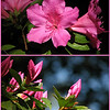04/13/10 - Pink Azalea<br /> All of the azaleas in my yard are blooming right now.  I have some of what we call the woodsy variety where the leaves and flowers are large like the one pictured above.  I also have some of the more compact variety with smaller leaves and flowers.  Hard to photograph them as part of a wider landscape scene because of how they are spread out in the yard and also because of the mix of sun and shade.  But, they sure are fun to take pics of at a closer level.  <br /> <br /> Both of these shots were taken on the same bush.  Open and beautiful.  I really like how the top shot shows a view from behind, front, and side all at the same time.  On the bottom, I really like the blue bokeh and how it works with the pink of the blooms.  <br /> <br /> Picasa is what I used to put these two pics together like this with the border.  This is the A4 size which helped me to preserve almost all of the original print sizes.<br /> <br /> I keep getting lots of good reports on Dad.  He is most likely going to rehab on Wed. or Thurs.  I heard from a friend that he was very winded just walking from his chair to the door of his room and back, but at least that's a start.  Time will tell if his heart condition is going to let him have the energy to get around as good as we'd like to see for him to go home.  Hoping that works out and scared that that will work out at the same time.  I spent most of yesterday on the phone with people trying to handle Dad's affairs the way they need to be.  The IRS was the first call of the day, and that was the only person all day that wasn't helpful and had an attitude with me.  And that was after 3 people and 3 15 minute wait periods.  Sigh...<br /> <br /> Thanks for your comments on the Eno River and West Point Mill collage from yesterday.  Definitely worth visiting if you're ever in the area.  <br /> <br /> HAGD,<br /> Maryann