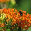 06/11/14 - Butterfly Bush