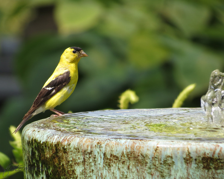09/10/13 - Goldfinch and Fountain