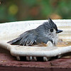 "11/27/09 - Bathing Tufted Titmouse<br /> Before dinner yesterday, I put my camera on the tripod and used the self timer to take a picture of the family at the dinner table.  Despite being quite sick and not really able to taste what I was cooking, dinner turned out fine, and we enjoyed the meal with my dad.  After dinner, while I was cleaning up, a tufted titmouse went into the birdbath out my kitchen sink window and started to bathe himself.  With great luck, the camera was still on the tripod, so I moved it into position quick.  As it turns out, 3 separate tufted titmouses came to bathe one right after the other, and I got good pics of the second 2 in various stages of bathing.  <br /> <br /> I have cropped this to show more detail and slightly bumped up the colors/contrast.  Many more of these birds some with water splashing about can be found here:<br />  <a href=""http://fotomom.smugmug.com/Nature/November-2009/10198920_oRbHf#724679932_XfKVX"">http://fotomom.smugmug.com/Nature/November-2009/10198920_oRbHf#724679932_XfKVX</a><br /> <br /> Sick or not, I'm off to shop!  It was touch and go, and I may not last long, but I'm headed out!<br /> <br /> Thanks for your comment on our turkey day portrait.  The boys are always excited to be in my POTD.  I had intended to try to reshoot an even better shot, but after 5 days of clouds, I gave up and went with the one I'd already taken.<br /> <br /> HAGD,<br /> Maryann"