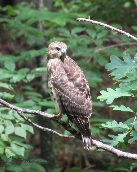06/28/15 - Hawk