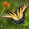 "08/29/11 - Easter Tiger Swallowtail at Yates Mill<br /> <br /> Visit my blog for the text below with pictures inline:<br /> <br /> <a href=""http://maryanng.blogspot.com/2011/08/eastern-tiger-swallowtail-at-yates-mill.html"">http://maryanng.blogspot.com/2011/08/eastern-tiger-swallowtail-at-yates-mill.html</a><br /> <br /> I was so excited to find a lantana bush in the parking lot at Yates Mill that had a swallowtail on it.  And, a very cooperative swallowtail I might add.  I had several wide open wing shots to choose from and a couple of other poses that I really liked too.<br /> <br /> Last night Joey and Johnny were looking over my shoulder, and Joey wanted to put some filters on one of the butterfly pictures and experiment.  OK.  Here's a collage showing the best side view and several different ways we processed it:<br /> <br /> <a href=""http://fotomom.smugmug.com/Nature/August-2011/18330920_7pCmrW#1453303874_vBwB6fr"">http://fotomom.smugmug.com/Nature/August-2011/18330920_7pCmrW#1453303874_vBwB6fr</a><br /> <br /> Collage from Yates Mill:<br /> <br /> <a href=""http://fotomom.smugmug.com/Nature/August-2011/18330920_7pCmrW#1453306514_SjVX52q"">http://fotomom.smugmug.com/Nature/August-2011/18330920_7pCmrW#1453306514_SjVX52q</a><br /> <br /> <br /> We also attended a pool birthday party for one of Johnny's classmates yesterday.  Fun!  Luke enjoyed Krispy Creme donuts instead of a birthday cake.  Yum!  Here's a collage of the best birthday boy shots that I got:<br /> <br /> <a href=""http://fotomom.smugmug.com/Nature/August-2011/18330920_7pCmrW#1453011132_hpqxJGV"">http://fotomom.smugmug.com/Nature/August-2011/18330920_7pCmrW#1453011132_hpqxJGV</a><br /> It's not safe to invite me to your child's birthday party unless it's OK for me to take pictures:-)<br /> <br /> Joey on the water slide:<br /> <br /> <a href=""http://fotomom.smugmug.com/Nature/August-2011/18330920_7pCmrW#1453008510_CmtXnkN"">http://fotomom.smugmug.com/Nature/August-2011/18330920_7pCmrW#1453008510_CmtXnkN</a><br /> <br /> Cute Johnny smile:<br /> <br /> <a href=""http://fotomom.smugmug.com/Nature/August-2011/18330920_7pCmrW#1453011454_ngwMvMp"">http://fotomom.smugmug.com/Nature/August-2011/18330920_7pCmrW#1453011454_ngwMvMp</a><br /> <br /> The boys got haircuts last night, so the next round of pics will show much shorter hair.  I think I cut off at least an inch!<br /> <br /> Thanks for your comments on our apple crisp shots from yesterday...<br /> <br /> HAGD,<br /> Maryann"