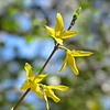 "03/07/11 - Forsythia or Yellow Bells<br /> <br /> I took this shot last week in my front yard.  There's a forsythia shot in my daily gallery from last year, and I suspect there will be at least one each year.  It's such a pretty and early sign of spring's promise to awaken the world again.  <br /> <br /> I did modify this shot a bit from the original but not too much.  For the curious:<br /> <br /> <a href=""http://fotomom.smugmug.com/Nature/March-2011/16046070_gZarf#1205130574_EHDKV"">http://fotomom.smugmug.com/Nature/March-2011/16046070_gZarf#1205130574_EHDKV</a><br /> <br /> We had a slightly less hectic day yesterday.  We just went to Marbles Kids Museum and the grocery store.  We ran into Eliza and her family at Marbles.  Madi wasn't with us yesterday, so the boys were super glad to run into other friends to play with Lindsey and Lauren from Johnny's class were there too.<br /> <br /> Collage of best shots from Marbles:<br /> <br /> <a href=""http://fotomom.smugmug.com/Nature/March-2011/16046070_gZarf#1208629141_VfDSC"">http://fotomom.smugmug.com/Nature/March-2011/16046070_gZarf#1208629141_VfDSC</a><br /> <br /> A super cute video of Johnny in a bee outfit tap dancing in wooden (Dutch) shoes:<br /> <br /> <a href=""http://www.youtube.com/watch?v=nisqr2eLaTk"">http://www.youtube.com/watch?v=nisqr2eLaTk</a><br /> <br /> Thanks for the comments on Madi's portrait from yesterday.  I printed a 4X6 version to WM yesterday, and the 1-hour technician had nice things to say about it when I picked it up.  I was also pleased.  I'll be giving Madi a copy today.<br /> <br /> HAGD,<br /> Maryann"