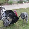 10/30/13 - Turkeys