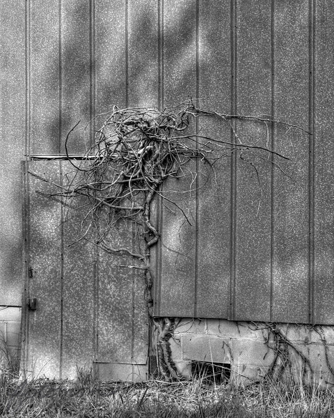 """08/06/10 Just a Vine<br /> I pass by this barn with the vine grown into the doorway often.  I have taken a picture of this spot a few times before but sortof decided that yesterday might be the day to turn the scene into a daily.  I'm still not totally happy with it, but I'm sticking by it being my daily today otherwise you were getting an uncut watermelon stripe shot:-)  Here's a color version of the vine:<br /> <br /> <a href=""""http://fotomom.smugmug.com/Nature/August-2010/13178134_KQNMz#959976002_BuASq"""">http://fotomom.smugmug.com/Nature/August-2010/13178134_KQNMz#959976002_BuASq</a><br /> I like the color version, but somehow I thought the vine should be more ominous and in B&W.<br /> <br /> Thanks for all your very generous comments on the moth shot from yesterday:-)<br /> <br /> Hey, it's FRIDAY!<br /> <br /> HAGD,<br /> Maryann"""