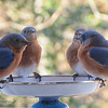 01/07/14 - Meeting of the Bluebirds