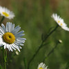 "05/06/11 - Facing Forward (I have no clue what to call this one...really)<br /> <br /> I took nearly 200 daisy pictures yesterday morning in about 15 minutes.  This is the same patch of daisies I've taken pictures of for the past 3-4 springs.  I just love them!  At this point, though, it's becoming a challenge to take something different than I've taken before.  I've done dry, wet, AM, PM, noon, cloudy, with ladybugs and butterflies and spiders and from under and on top and across the side and with blue sky...well you get the idea.  Yesterday it was very windy, and I was frustrated.  Add in occasional cars traveling past me at 55mph (good 20' between me and them), and the daisies weren't very still.  I did get quite a few focused shots anyway, but for one series, I had shots like this where the front daisy was straight and focused and the back daisies were moving and blurred just right I thought.  I picked the one to share where the background daisies seemed to fill the frame just right.<br /> <br /> Without maintaining aspect ratio, I have put this image on a white background in both 8X10 and 4X6.  I think it makes a nice card of friendship or get well wishes.  <br /> <br /> <a href=""http://fotomom.smugmug.com/Nature/May-2011/16865229_xX2Jk5#1279534788_CKJGQfz"">http://fotomom.smugmug.com/Nature/May-2011/16865229_xX2Jk5#1279534788_CKJGQfz</a><br /> <br /> This is filtered, and I removed 2 small white blips across the bottom border.  I also removed a few black dots on the daisy itself.  It's pretty close to sooc.<br /> <br /> Thanks for your comments on the blueberry and whipped cream iris.  Blueberries should be pickable here just about now.<br /> <br /> HAGD,<br /> Maryann"