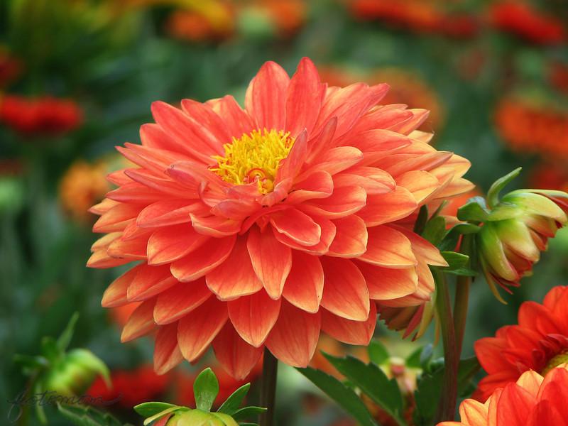 05/12/14 - Dahlia at the Garden Hut
