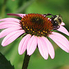 06/10/14 - Coneflower and Friend