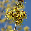 "03/01/11 - Yellow Witch Hazel<br /> <br /> I just couldn't resist sharing this bold yellow and blue shot that I took Saturday at Plant Delights.  I have a witch hazel in my yard that has more orange toned darker blooms.  I had not seen this yellow variety before.  Wow!  This tree was 15' tall at least. You can get a feel for the size with this shot:<br /> <br /> <a href=""http://fotomom.smugmug.com/Nature/February-2011/15678719_FPSPQ#1199746313_yWHnC"">http://fotomom.smugmug.com/Nature/February-2011/15678719_FPSPQ#1199746313_yWHnC</a><br /> <br /> Thank you so much for your comments on the 'pink' picture from yesterday.  I'm really glad you guys enjoyed it so much.<br /> <br /> As of 3AM, Joey was eating a cheese sandwich and fever free.  What a relief.  He slept during the day yesterday which hasn't happened in years.  And then he was in bed asleep at 6:30PM..also unheard of.  When he woke during the night, he was quite confused about the time:-)  My world is still spinning a bit, but I feel better too.  We're going to try to make his field trip today to see Seussical at the Progress Energy center downtown.  Should be fun!<br /> <br /> We're cooler today.  More normal temps.  Last night's rain and severe storms that rolled through created quite a few house fires.  Always sad to hear about that.  Johnny and I read books to distract ourselves from the thunder and lightning during the most intense part of the storm.<br /> <br /> HAGD,<br /> Maryann"