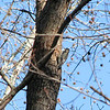 12/29/09 - Juvenile Yellow-Bellied Sapsucker<br /> The kids were playing outside in the yard around lunchtime yesterday when I spotted a lot of activity near my bird/suet feeders.  I went over and 'hid' so I could watch and hopefully get some pics.  I was delighted to catch this woodpecker working away at this tree.  Notice the horizontal lines of holes on the tree...typical work from this type of woodpecker.  Now, this guy does not come to the suet so I haven't seen him in my yard before.  This is only my second sapsucker sighting in my neighborhood in the past 5 years probably because I haven't been looking close enough.  The last one was also a juvenile which makes them harder to identify.  Anyway, the red-bellied, hairy, and downy woodpeckers come to my suet a lot and were in the same area yesterday enjoying the midday sun as I watched.<br /> <br /> Well, it's going to be colder and windier than I'd like for a zoo trip.  We'll go but may not stay very long.  It's about 2 hours each direction.  The kids will be watching G-Force (Disney) on the way over which they'll enjoy.<br /> <br /> Thank you so much for the comments on Joey and the gull...  I told Joey he did great!<br /> <br /> HAGD,<br /> Maryann