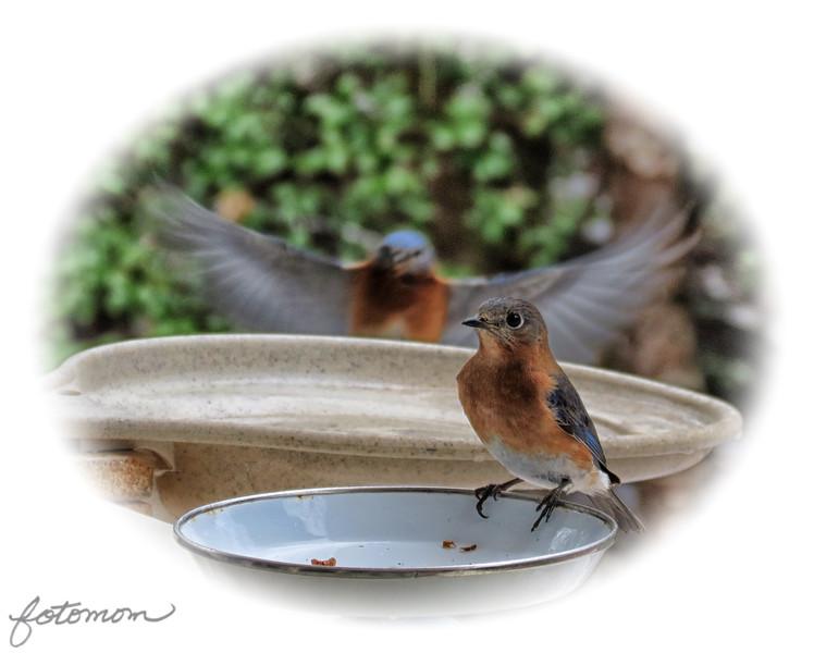 02/22/15 - Bluebirds in Flight #2