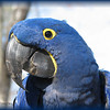 "02/21/11 - This is Judy the Hyacinth Macaw<br /> <br /> The boys and I went to Sylvan Height Waterfowl Park in Scotland Neck, NC yesterday.  This is our second visit; the first was back in October.  It's a long drive, or we'd go more often.<br /> <br /> What a wonderful day in NC.  Temps near 60, sunny, less breeze than Saturday, blue sky, and signs of spring beginning to show up.  <br /> <br /> We had a great time visiting with all the birds.  European, North American, African, South American; there are birds from all over the world there.  Rare birds, common birds, beautiful birds, so ugly they are cute birds...you name it and they have it.  <br /> <br /> One of the keepers was walking Judy around the park.  What a thrill to get to meet her in person.  She is exactly this blue color!  Wow!  The Hyacinth Macaw, according to Wikipedia, is the largest Macaw.  Their beak is so strong that they can break open coconut shells.  They mostly live in Brazil, Bolivia, and Paraguay.  Loss of natural habitat, the desire for their feathers, and the cage bird industry has put this animal on the endangered list:-(  The clutch size is 1-2 eggs with typically only 1 surviving.  The babies stay with their parents for 3 months.  Adults are able to reproduce at 7 years.<br /> <br /> We saw many other wonderful birds, and I have up a gallery from yesterday's visit here:<br /> <br /> <a href=""http://fotomom.smugmug.com/SylvanHeightsWaterfowlParkScot/Sylvan-Heights-022011/15917697_ZVfEA#1193830116_a7NU7"">http://fotomom.smugmug.com/SylvanHeightsWaterfowlParkScot/Sylvan-Heights-022011/15917697_ZVfEA#1193830116_a7NU7</a><br /> <br /> They have black swans, and they are on eggs right now.  They expect cute babies in a couple of weeks.  We may have to go back!<br /> <br /> Does it have to be Monday again so soon?  <br /> <br /> HAGD,<br /> Maryann<br /> <br /> <a href=""http://shwpark.com/n"">http://shwpark.com/n</a>"