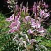 07/18/19 - Cape Fear Wildflower
