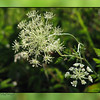 "06/23/10 - Summer Snowflake<br /> This is a shot of Queen Anne's Lace that I took last Friday.  I like how the flower looks as if it's a snowflake.  I also took the frame shot the same day a few shots later in the series.  It was a mistake like many of my other background style shots, but I really thought the greens matched up very nicely with the main shot.  <br /> <br /> I spent some time last night pulling out all the 'good' Queen Anne's Lace shots that I have taken over the last 3 years and putting them in a new gallery.  26 pics total.  If you are interested, that gallery is here:<br /> <br /> <a href=""http://fotomom.smugmug.com/Nature/Queen-Annes-Lace/12664870_LXHwS#910719862_7qyiP"">http://fotomom.smugmug.com/Nature/Queen-Annes-Lace/12664870_LXHwS#910719862_7qyiP</a><br /> <br /> My bluebird box at work has 4 healthy babies and 2 very caring parents working to feed them, and I actually have babies (5 eggs) hatching in a box in my yard right now.  That's a first!  Really hoping they can pull through these heat index days near 100 that we're having.  It is warm in Raleigh right now!  <br /> <br /> Thank  you for your comments on the gull shot from yesterday...<br /> <br /> HAGD,<br /> Maryann"