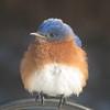 02/19/15 - Mr. Bluebird
