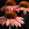 09/04/14 - Coneflower Trio