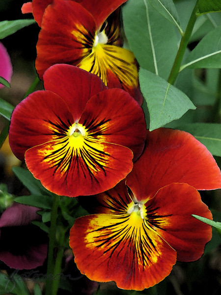 """04/26/10 - Watercolor Pansy<br /> I fixed a blemish on the lower flower and then applied the PSE watercolor filter to this shot.  Boy did it bring out the the detail and red tones.  The original is here:<br /> <br /> <a href=""""http://fotomom.smugmug.com/Nature/April-2010/11699927_Ufdur#845862375_xh2Dx"""">http://fotomom.smugmug.com/Nature/April-2010/11699927_Ufdur#845862375_xh2Dx</a><br /> Taken Friday and PP'ed last night.<br /> <br /> I don't usually alter my flower pictures like this, and I tried it on a few others last night, and this is the only one that really worked for me.  I've been wanting to post a pansy shot on and off for a couple of months now, and today feels like the right day:-)  They are biannuals here which means that we plant them in the fall, they bloom and then they winter over even under snow.  In the spring, they bloom again in all their glory until the heat of later May/early June ends their cycle (or the landscaping companies pull them out to plant something else).  <br /> <br /> Thank you so much for the feedback on the columbine shot.  I had not expected it to be that popular.<br /> <br /> Boy was it gusty yesterday.  My peony is blooming, and I took a few shots of it, but none turned out good enough to want to share.  The rest of the day was spent grocery shopping and playing with the kids.  I pulled out and printed at WM 100 of the best 'kid' pictures taken during Joey's track out, and we built a photo album using cardstock paper.  I put the photos on the pages, and he used a marker to write in the location, etc.  We had fun, and I think it turned out pretty well.  He tracks back in today.  Time, but wow will it be lonely as we both readjust.<br /> <br /> HAGD,<br /> Maryann"""