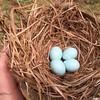 03/30/15 - Bluebird Eggs