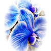 03/14/14 - Blue Orchid