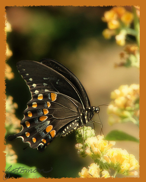 """08/25/11 - Black Eastern Tiger Swallowtail<br /> <br /> I was back at Porter Farms and Nursery yesterday, twice, trying to take another butterfly shot worth sharing with you guys.  Things didn't seem to click as good as they had on Monday.  Of the two or three shots that I got that I liked, the wing was well focused, but the head/eye was not.  I suspect I'll go back today to try again although right now we are quite cloudy.<br /> <br /> I have doctored this up from the original quite a bit:<br /> <br /> <a href=""""http://fotomom.smugmug.com/Nature/August-2011/18330920_7pCmrW#1446087598_jf7MQnz"""">http://fotomom.smugmug.com/Nature/August-2011/18330920_7pCmrW#1446087598_jf7MQnz</a><br /> <br /> Another shot from yesterday that I pp'ed and liked:<br /> <br /> <a href=""""http://fotomom.smugmug.com/Inspirations/Inspirations/10386893_GcQ4rP#1447396198_KDvSXPW"""">http://fotomom.smugmug.com/Inspirations/Inspirations/10386893_GcQ4rP#1447396198_KDvSXPW</a><br /> <br /> This shot of the butterfly in flight I also liked:<br /> <br /> <a href=""""http://fotomom.smugmug.com/Nature/August-2011/18330920_7pCmrW#1446781982_hg9ttdD"""">http://fotomom.smugmug.com/Nature/August-2011/18330920_7pCmrW#1446781982_hg9ttdD</a><br /> Of course I wish I had gotten the flight more centered in the frame and sharper but I think it represents the quick flight between the flowers of a butterfly pretty well.<br /> <br /> An open wing shot of this butterfly:<br /> <br /> <a href=""""http://fotomom.smugmug.com/Nature/August-2011/18330920_7pCmrW#1447419300_73NwGXc"""">http://fotomom.smugmug.com/Nature/August-2011/18330920_7pCmrW#1447419300_73NwGXc</a><br /> <br /> This clearwing moth was also on the butterfly bush:<br /> <br /> <a href=""""http://fotomom.smugmug.com/Nature/August-2011/18330920_7pCmrW#1446633997_gPpdDds"""">http://fotomom.smugmug.com/Nature/August-2011/18330920_7pCmrW#1446633997_gPpdDds</a><br /> as was this Pearl Crescent Butterfly (I think):<br /> <br /> <a href=""""http://fotomom.smugmug.com/Nature/August-2011/18"""
