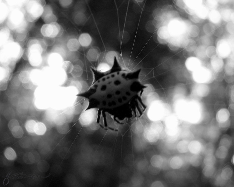 08/16/11 - Spooky<br /> <br /> Today's POTD didn't start out to be a spooky spider...really.  I saw this cool web in my yard yesterday morning that was kindof in the sunlight.  I grabbed my camera fast!  I've seen this type of spider before.  Harmless!  A bit spooky I think!  I did my best to get a sharp, bokeh pretty shot, but there just wasn't enough light for handheld.  I ended up doing a B&W (tint) conversion and adding a bit of grain and going spooky to try to offset the movement in the shot.  It's only 68 this morning, and the first signs of fall are just around the corner...<br /> <br /> Thanks for your comments on my wet hibiscus shot.  <br /> <br /> HAGD,<br /> Maryann