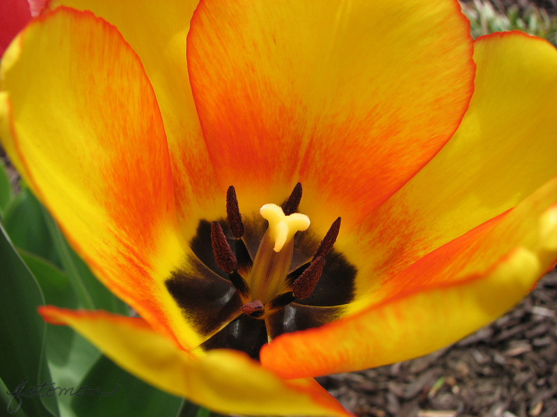 """03/29/10 - Inside a Tulip<br /> The tulips are here!  the tulips are here!  Well, they are at least blooming at the entrance to one neighborhood not too far from my house.  I spotted them Saturday and went back yesterday to take a few shots.<br /> <br /> First off let  me say that I feel much better today.  Thanks again for all the well wishes.  Yesterday was the first day with no fever.  <br /> <br /> What you should know about this shot is that the winds were gusting to 20mph when I took it.  I had to take a lot of shots waiting for just the right moment when the flowers weren't being blown away.  I had quite a few shots with my hair in them.  Yep, it's long and wasn't pulled back and it kept blowing where I didn't want it.  I'm amazed I got a usuable shot.<br /> <br /> I did a little clean-up work on stray dots and spots that were distracting from the beauty of the flower.  I decided not to tweak the contrast or color in any way, though.<br /> <br /> The boys and I did our weekly grocery shopping and thrift store trip yesterday.  We cooked a good dinner together, worked on a craft, and read some fun books.  Oh, and we set up our little Easter house village too.  For us, that's a quiet day:-)  Here's a picture of my chefs:<br />  <a href=""""http://fotomom.smugmug.com/Nature/March-2010/11391408_8boNH#822092026_bstYE"""">http://fotomom.smugmug.com/Nature/March-2010/11391408_8boNH#822092026_bstYE</a><br /> <br /> It was incredibly wet, windy, and loud here during the night.  News reports are talking about damange all over NC, but I think my immediate area was spared the worst of it.  I was up comforting doggies during the night.  Kids slept through it:-)<br /> <br /> Thanks for the comments on the Easter egg hunt picture:-)<br /> <br /> <br /> HAGD,<br /> Maryann"""