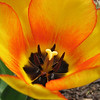 "03/29/10 - Inside a Tulip<br /> The tulips are here!  the tulips are here!  Well, they are at least blooming at the entrance to one neighborhood not too far from my house.  I spotted them Saturday and went back yesterday to take a few shots.<br /> <br /> First off let  me say that I feel much better today.  Thanks again for all the well wishes.  Yesterday was the first day with no fever.  <br /> <br /> What you should know about this shot is that the winds were gusting to 20mph when I took it.  I had to take a lot of shots waiting for just the right moment when the flowers weren't being blown away.  I had quite a few shots with my hair in them.  Yep, it's long and wasn't pulled back and it kept blowing where I didn't want it.  I'm amazed I got a usuable shot.<br /> <br /> I did a little clean-up work on stray dots and spots that were distracting from the beauty of the flower.  I decided not to tweak the contrast or color in any way, though.<br /> <br /> The boys and I did our weekly grocery shopping and thrift store trip yesterday.  We cooked a good dinner together, worked on a craft, and read some fun books.  Oh, and we set up our little Easter house village too.  For us, that's a quiet day:-)  Here's a picture of my chefs:<br />  <a href=""http://fotomom.smugmug.com/Nature/March-2010/11391408_8boNH#822092026_bstYE"">http://fotomom.smugmug.com/Nature/March-2010/11391408_8boNH#822092026_bstYE</a><br /> <br /> It was incredibly wet, windy, and loud here during the night.  News reports are talking about damange all over NC, but I think my immediate area was spared the worst of it.  I was up comforting doggies during the night.  Kids slept through it:-)<br /> <br /> Thanks for the comments on the Easter egg hunt picture:-)<br /> <br /> <br /> HAGD,<br /> Maryann"