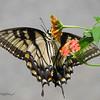 08/27/13 - Swallowtail Flip Side
