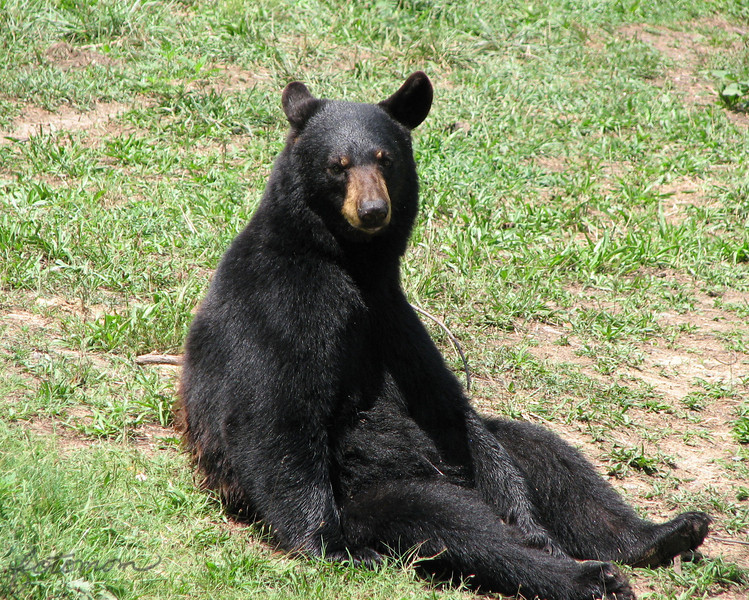 "08/15/09 - This is Gus.  He's a 4 year old Black Bear that lives at the Museum of Life and Science in Durham, NC  <a href=""http://www.ncmls.org"">http://www.ncmls.org</a>.  He is one of 4 bears living at the museum all of which were rescued for some reason.  He's the only male.  Virginia, Mimi, and Ursala are the rest of his 'family'.  We really lucked out during our visit to the museum yesterday, because we went to the bear habitat while the keeper, Erin, was throwing out a snack to the bears.  The bears came up as close to us (15')  as the water barrier would let allow retrieve their snack.  We got to see them swim. They stood up playfully to pose for us.  Gus even sat down in this cute pose for a few minutes.  It was a great 15 minute 'show'.  I had so many good bear pics that it was VERY hard to pick which one to post.  If you have time, check out the collage of the best bear shots here:<br />  <a href=""http://fotomom.smugmug.com/gallery/9294659_3ZDsa#621162676_UtTyG"">http://fotomom.smugmug.com/gallery/9294659_3ZDsa#621162676_UtTyG</a><br /> There is also a kid collage and an engineers day activities collage.<br /> <br /> Between the kids and I, we took 700 pictures yesterday:-)  It was a great day!  I often tell folks that you can tell whether or not I had a good day by the number of pictures I took."
