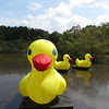 09/02/13 - NCMLS Is Going Ducky!