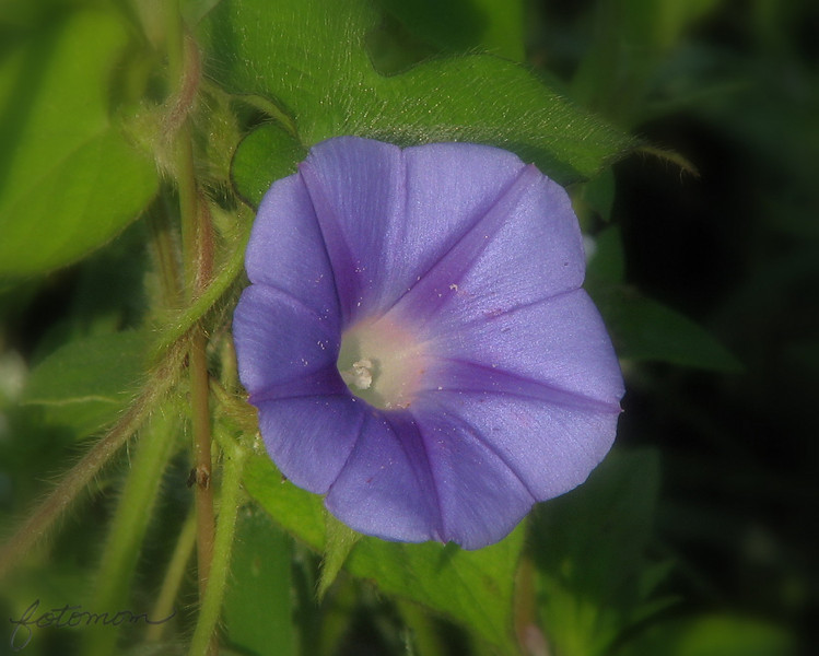 "08/26/09 - I'm pretty sure this is a morning glory.  Many of these flowers/vines are growing wild on the edge of the soy bean field on the gravel road leading up to the swamp area that I often take pictures at.  There are a few purple and pink colored flowers too, but most are this blue color.  I tried 3 different times to get a really good picture of these flowers.  Like I said the other day, for some reason, they are hard.  I think the super deep center and irridescent powderlike finish on the flowers is the cause.  Anyway, this one seemed kindof neat, so I though I'd share it.  The leaf/vine texture in this one was kindof off the charts, so I did a little soft focus around the outer edges.  Afterall, we want the flower to stand out and not the vines, right?!?  The original is here:<br />  <a href=""http://fotomom.smugmug.com/Nature/August-2009/9303816_iSKg7#630416096_3pAQ6"">http://fotomom.smugmug.com/Nature/August-2009/9303816_iSKg7#630416096_3pAQ6</a><br /> <br /> Thank you for all your comments on my glass doll picture from yesterday:-)<br /> <br /> Surviving my on-call week so far...<br /> <br /> Maryann"