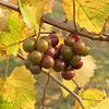 "11/25/09 - Future Wine<br /> I took this shot this weekend and am hoping to go back for more before the grapes are harvested, but we may never have sun again...well it seems like that this week.  So for now, this is the best shot I got of the muscadine grapes.<br /> <br /> There is a winery very close to my house.  And, let me tell you, that is a very odd site for rural NC!<br /> <br /> Several members of the daily community have suggested that we need a way to communicate outside of specific photo comments, so I created a group on Facebook called:<br /> SmugMug Daily Photo Community Discussion<br /> If you are interested, please join. I will receive a request to accept you, so if your Facebook userid is not similar to your SmugMug userid, can you include your SmugMug userid in the comments, please so I'll know who you are.  Thanks.  <br /> <br />  You can also find me individually on Facebook as Maryann Tia Engel Goldman.<br /> <br /> Thank you so much for the comments on my angel shot from yesterday.  I am glad you all got a chuckle over my set-up shot.  I certainly got a good laugh over some of your responses to it:-)<br /> <br /> I did manage to get my pictures framed and then hung last night at the coffee shop.  If you want to see how the hanging turned out, the pics are here:<br /> <a href=""http://fotomom.smugmug.com/Nature/November-2009/10198920_oRbHf#723338189_tjaiT"">http://fotomom.smugmug.com/Nature/November-2009/10198920_oRbHf#723338189_tjaiT</a><br /> I am pleased with how it turned out.  Now, if I can just sell a couple.  The pics come down right before Christmas.  The way this works is if someone wants to buy one, I can take that one down to sell but need to replace the 'hole' with a new one.  Or, just wait until the end of the show to complete the sale.  <br /> <br /> 5AM shift for work today and tomorrow and I have a cold.  I work with many people from all over the world, so many are not celebrating Thanksgiving tomorrow.  Hoping for a calm day anyway especially since I'll be trying to cook a traditional meal with the kids.  <br /> <br /> HAGD,<br /> Maryann"