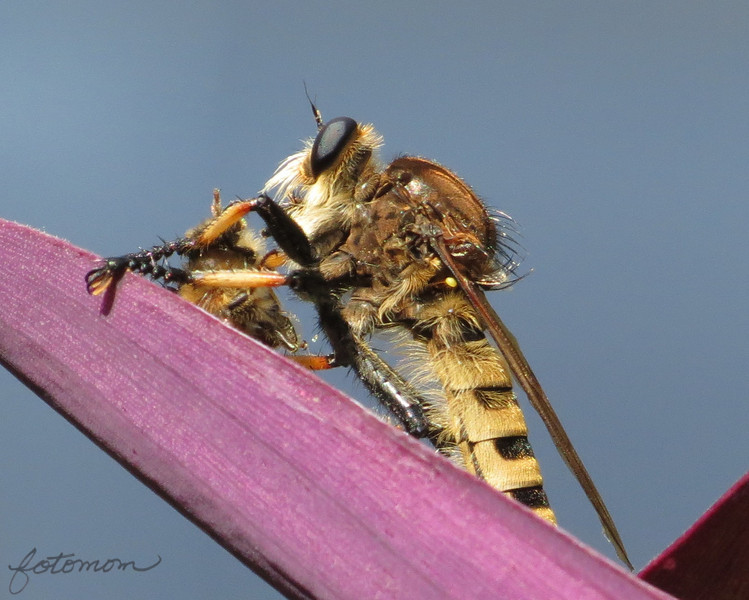09/17/13 - Robber Fly